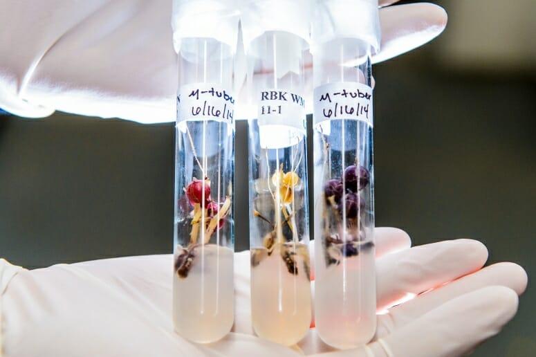 Potato cultivars in test tubes